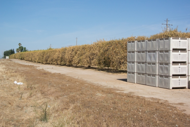 Citrus orcard destroyed by drought, central California 2015