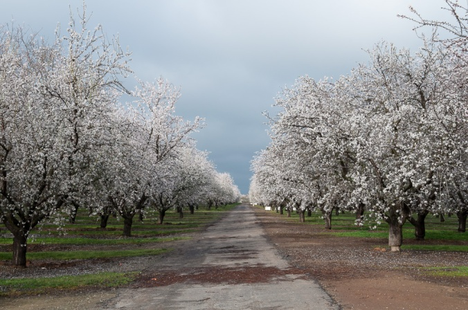 Almond orchard in spring bloom, central California