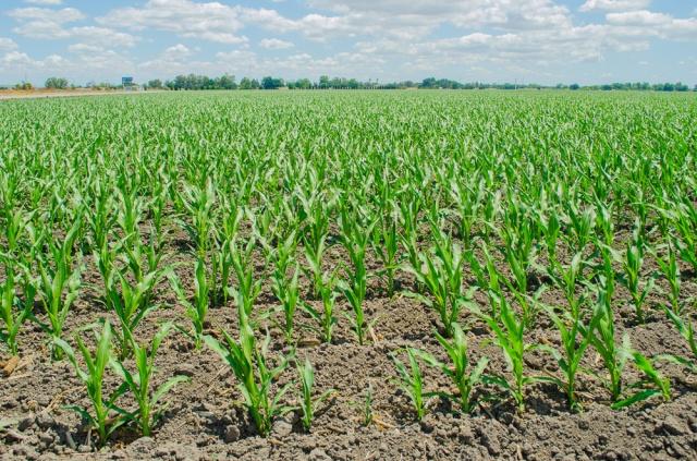 corn field, California delta west of Stockton